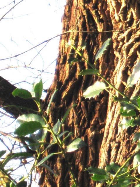 boomkruiper1 zonder pijl