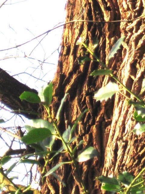 boomkruiper2 zonder pijl
