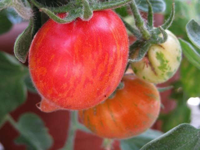 eerdere tomaten