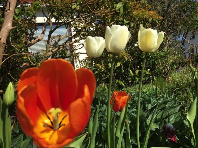 tulpen7meivoortuin
