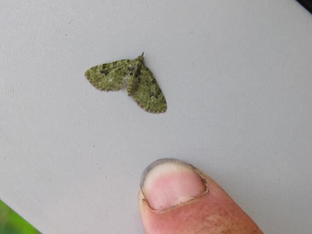 groenedwergspanner vinger