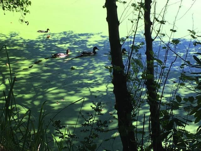 eenden in het groen