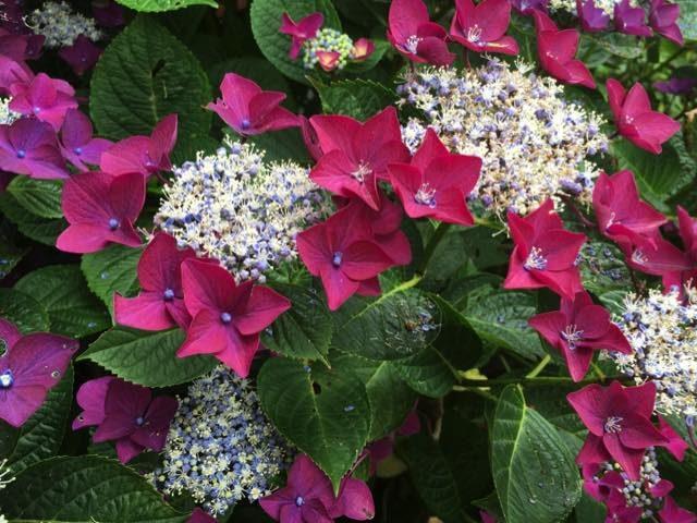 hortensia rotschwanz