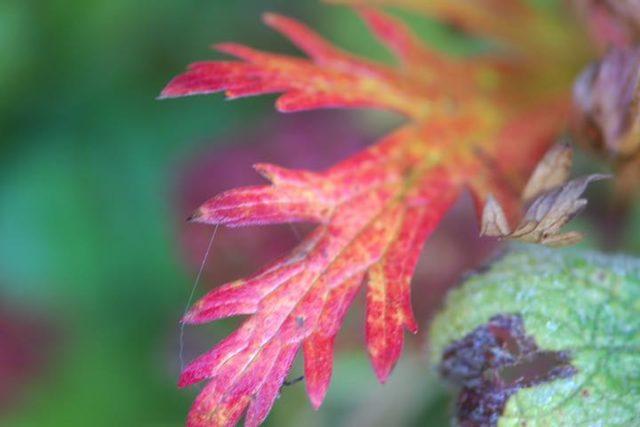 geraniumblad16okt