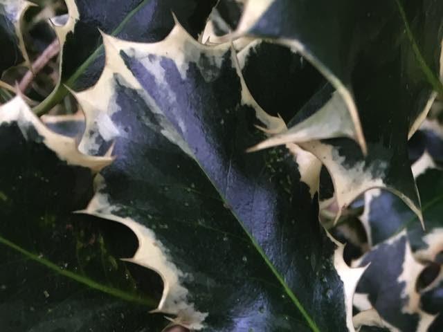 hulstblad